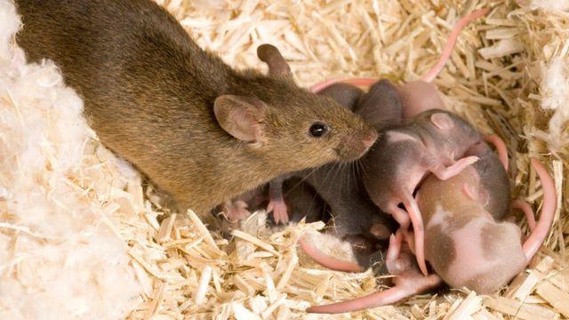 老鼠和幼鼠