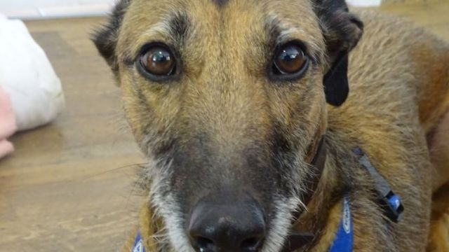 Lurcher rehomed in Yorkshire after 578 days in kennels