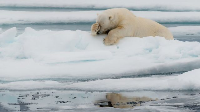 A polar bear appearing to be facepalming itself