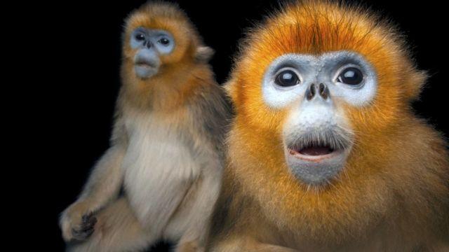 Monyet emas hidung pesek (c) Joel Sartore