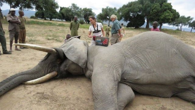 Elephant sedated and lying on its side