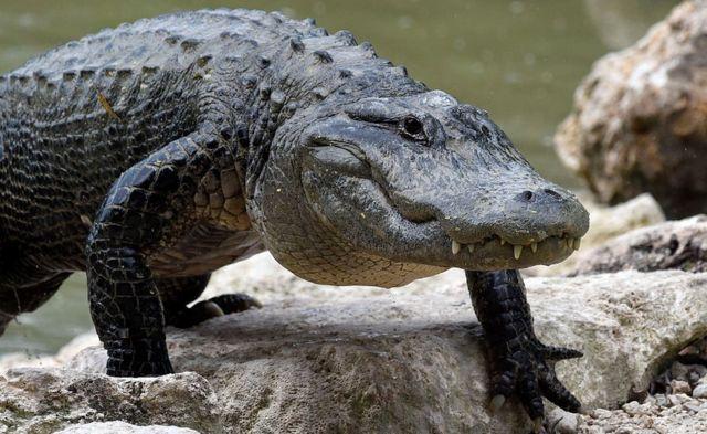 La palabra caimán tiene su origen en las islas del Caribe.