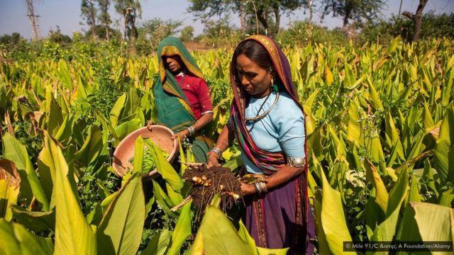 இந்தியாவில் பல மாநிலங்களில் மஞ்சள் சாகுபடி செய்யப்படுகிறது