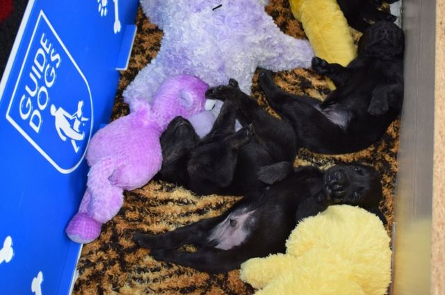 Three black puppies lie sprawled out in the whelping box