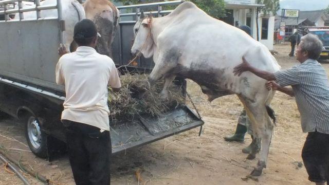 covid-19, idul adha, hewan kurban, Pedagang sapi di Pasar Ambarawa