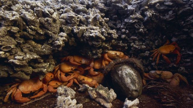 A principios del siglo XX por la isla se paseaban constantemente millones de cangrejos. Hoy en día ya no hay tantos. La fauna y vegetación de la isla cambia muy rápidamente, de una manera que sorprende a los científicos.