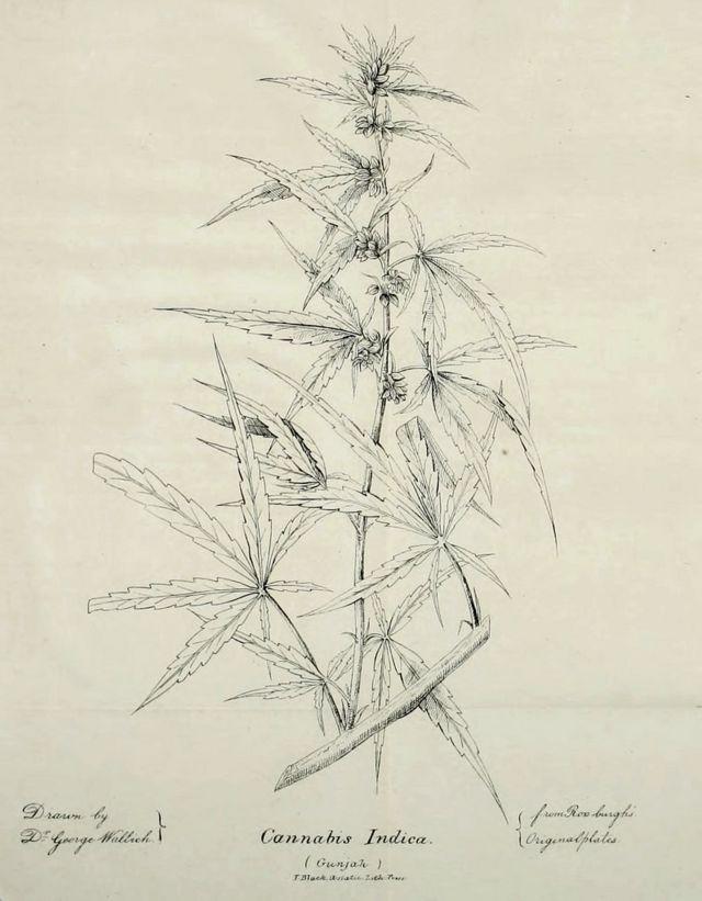 Ilustración de una planta de Cannabis Indica que aparece en el artículo de O'Shaughnessy en la revista Journal of the Asiatic Society of Bengal de 1839. (Dominio público).