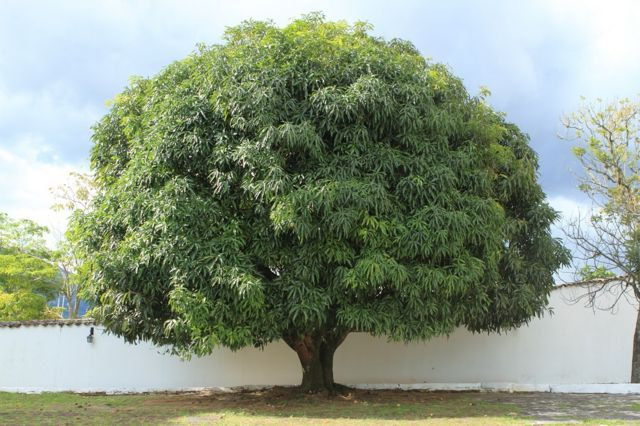 A large and lush mango tree growing by a white wall