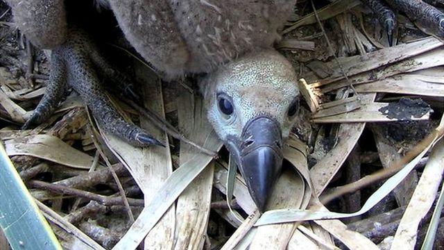 Cheek of Vulture