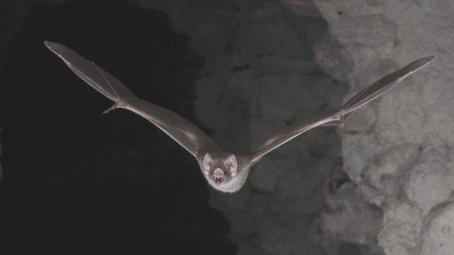 DNA secrets of how vampire bats became bloodthirsty
