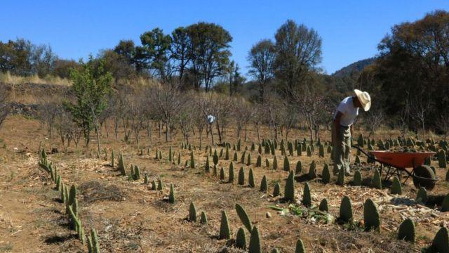 Plantación de nopales en Milpa Alta.
