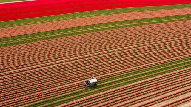 Поля тюльпанов в Германии