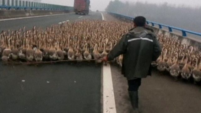 1,300 geese on the Erlianhot-Guangzhou expressway in China