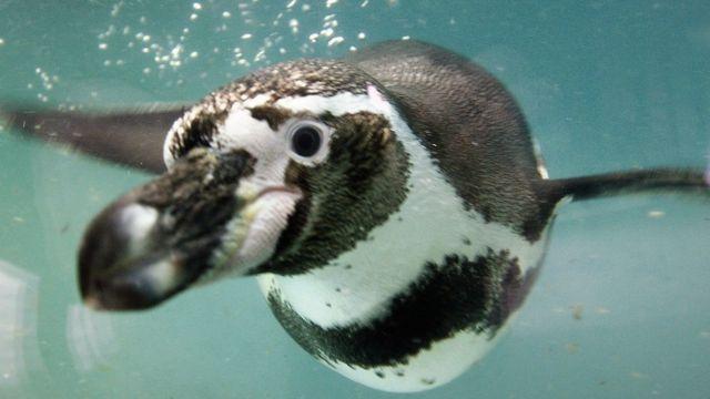 Pingüino Humboldt.
