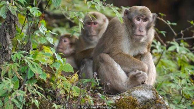 Monyet rhesus tak bisa memahami nada.