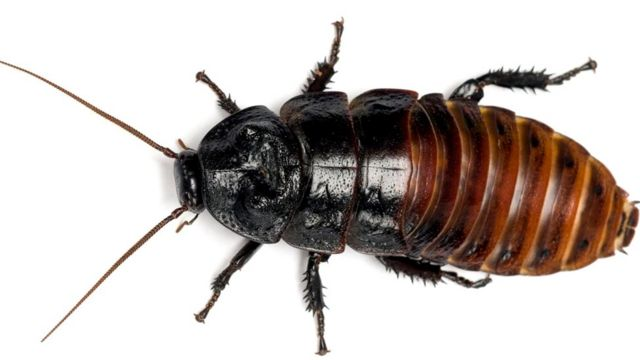 Крупный мадагаскарский шипящий таракан (Gromphadorina portentosa)
