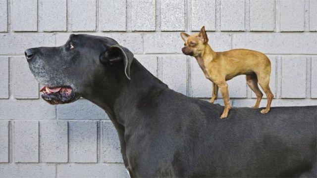 كلب شيواوا يقف على الكلب الدانماركي الضخم