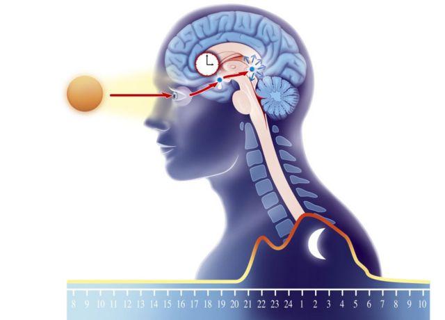 Un gráfico que muestra como la luz solar modula la producción de melatonina en la glándula pineal
