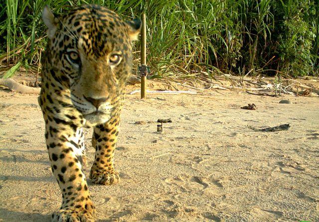 Un jaguar captado con una cámara trampa en el Parque Nacional Madidi en Bolivia