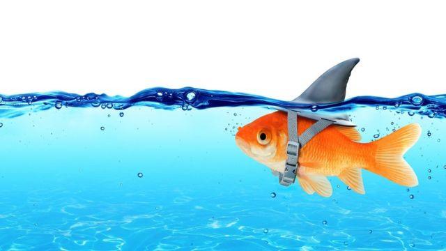 Goldfish wearing fin shark underwater