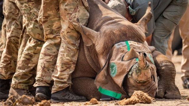 Undated handout photo issued by the Ministry of Defence (MOD) of a black rhino being transported to Malawi.