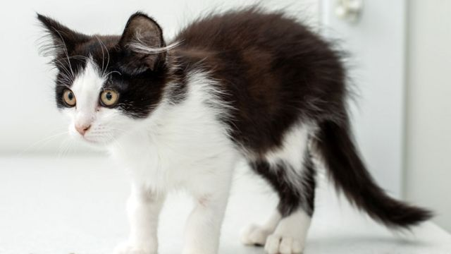 A small black and white kitten