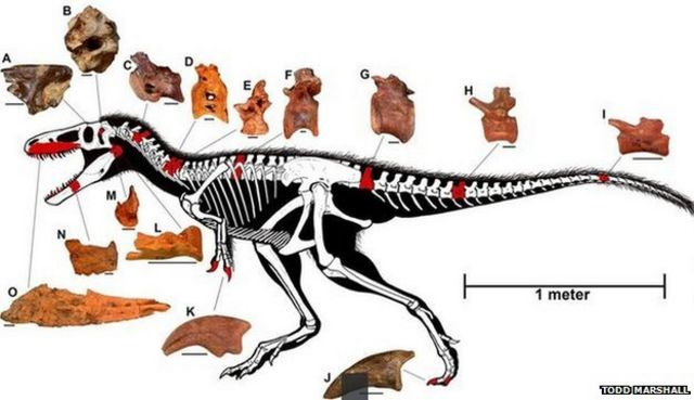 Dinosaur find resolves T. rex mystery