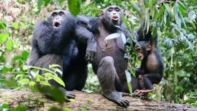 """Chimpanzees in the Tai National Park, Ivory Coast, """"speaking"""" to another group nearby"""