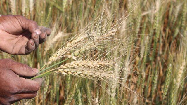 homem colhe trigo