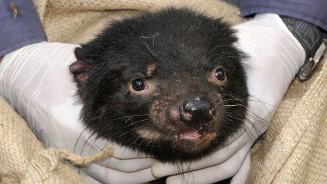 Tasmanian devil mwenye uvimbe wa uso