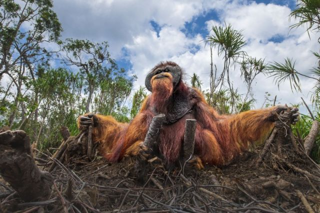 An orangutan holds on to the stumps of felled trees that were its home