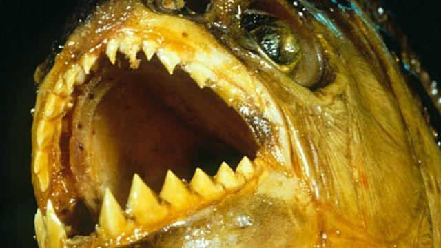 Close no dentes afiados da Piranha