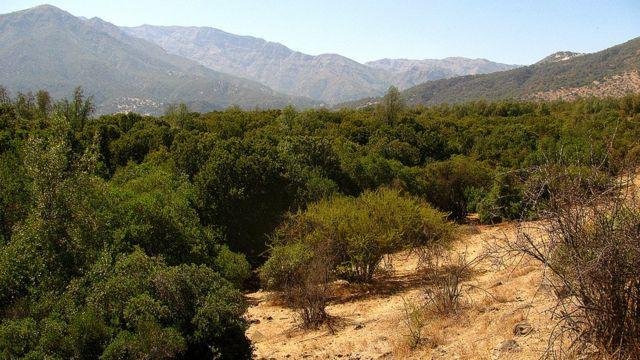 Bosque esclerófilo con quillays en la region metropolitana de Chile.