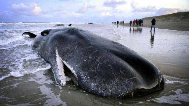 วาฬสเปิร์มเกยตื้นที่ชายหาดที่เนเธอร์แลนด์