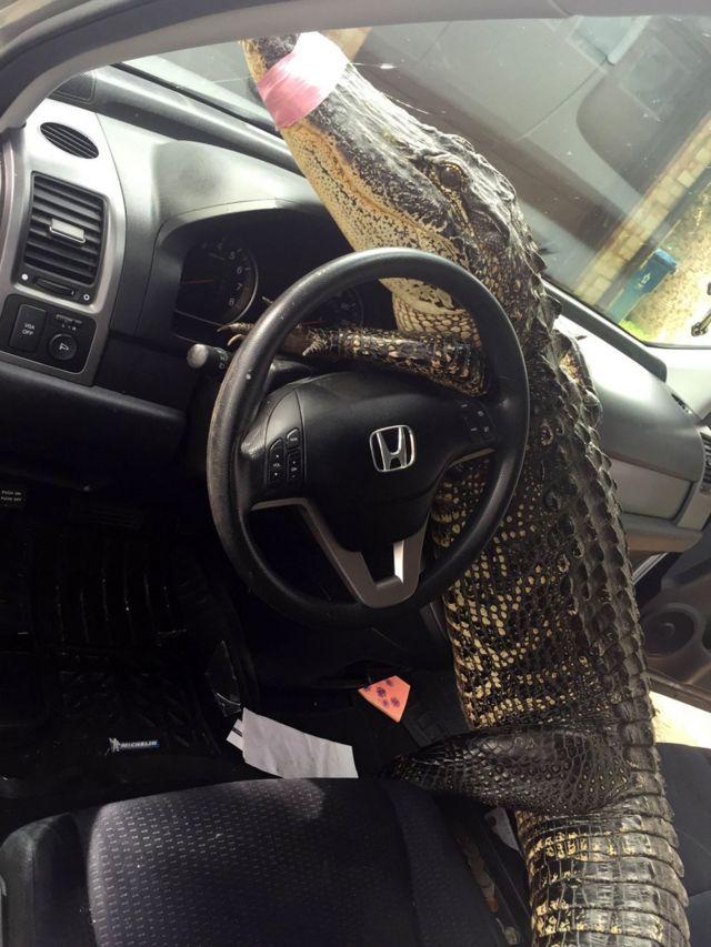 Аллигатор Бастер в машине Кристи