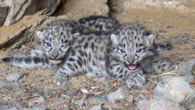 Juvenile snow leopards