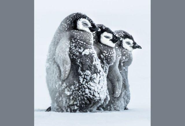 पेंगुइन