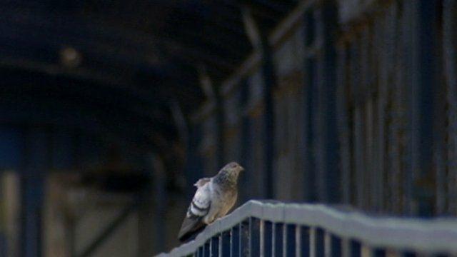 Pigeon on Craigavon Bridge