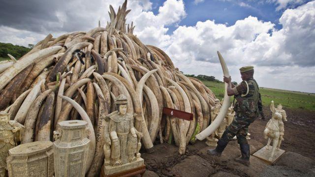 Kenya'da ele geçirilen fildişleri yetkililer tarafından topluca yakılmıştı