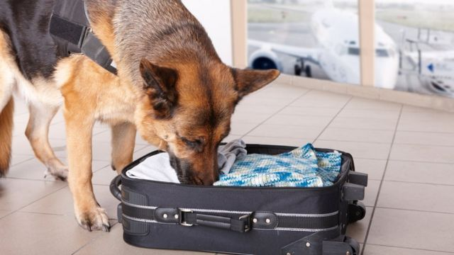 Perro olfateando explosivos