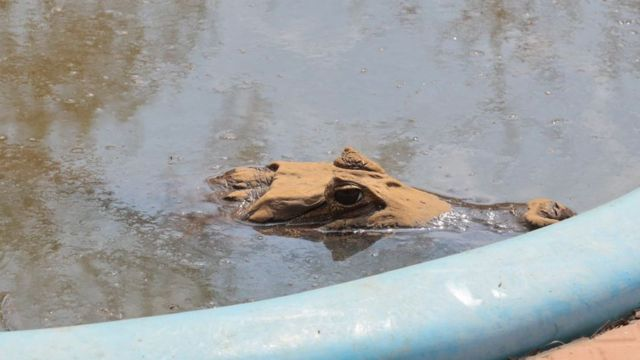 Um de dois jacarés em piscina de pousada no Pantanal