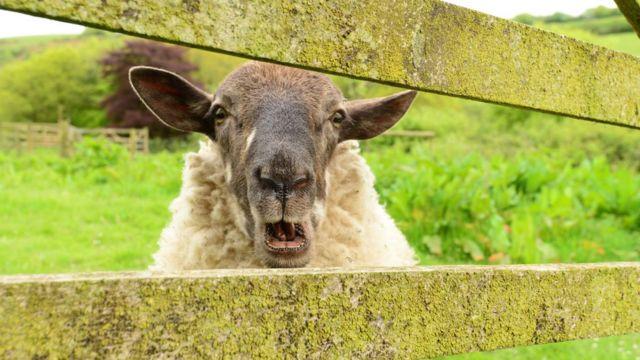 Овца в Девоне