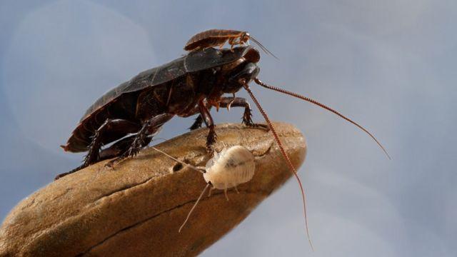 Tres tipos de cucarachas de Madagascar