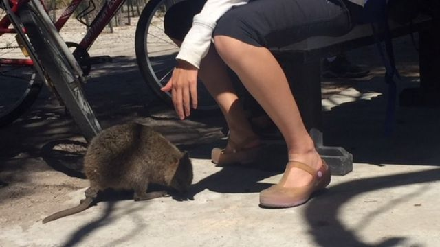 A tourist reaches to touch the quokka