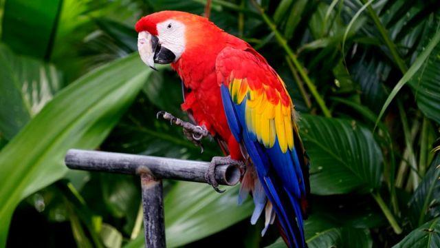 Попугаи обучаются путем звукоподражания