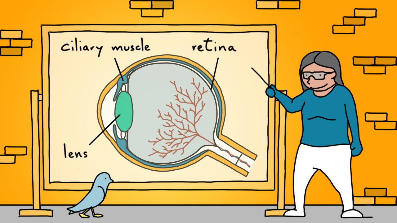 Ilustración de la estructura del ojo.