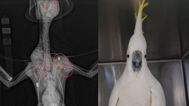 Exames de raio-x e Mr. Cocky, a cacatua