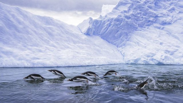 Gentoo penguins swimming
