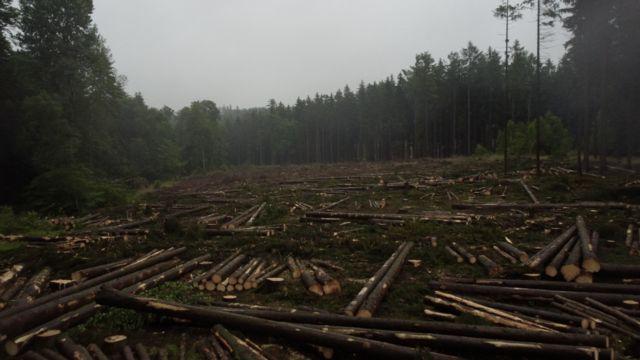 Harz bölgesindeki ağaç tahribatına, sıcak havada sayısı artan böceklerin etkisi büyük. İklim değişikliğinin dolaylı etkilerinden birisi de bu.
