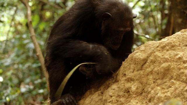 шимпанзе достает муравьев с помощью палки